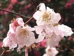 平野神社02.jpg